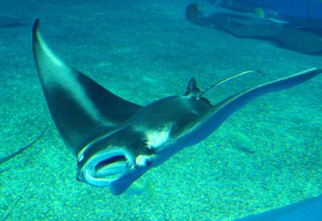 manta raya en acuario