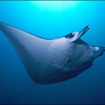 manta raya bajo el mar