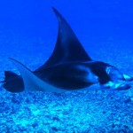 manta raya en el fondo marino